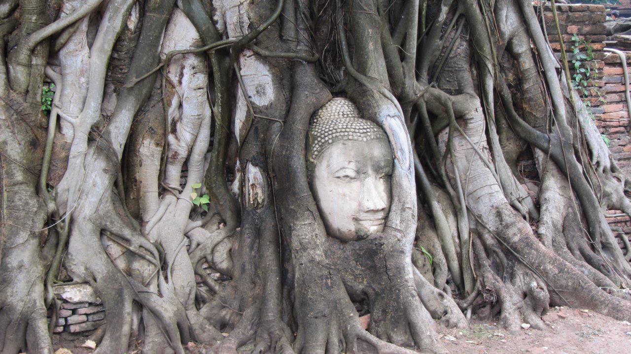 Wat Mahatat Buddha head in Bodhi tree