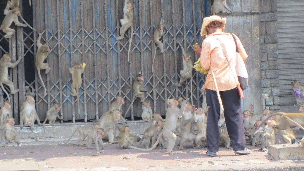 Monkeys in street being fed Lop Buri
