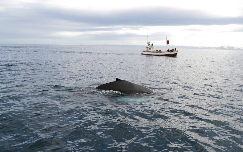 Iceland Winter Tours - Whale Watching