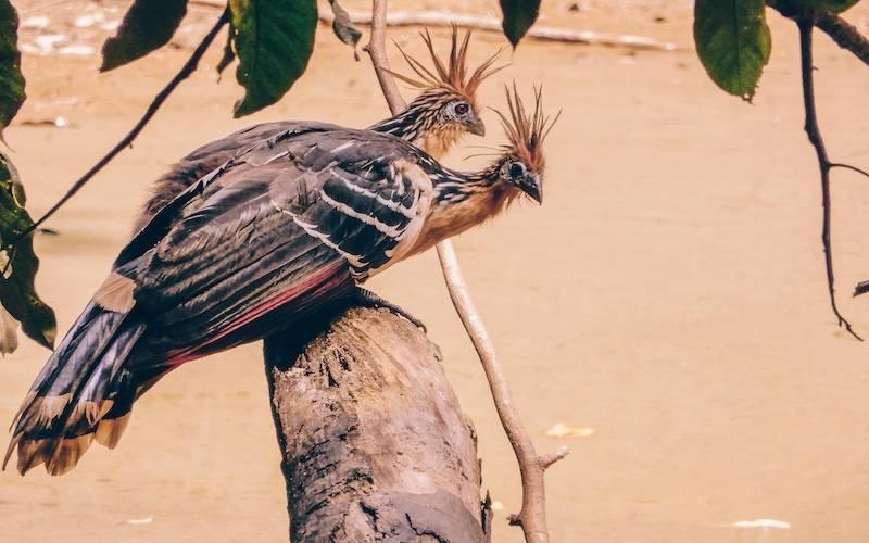 Hoatzin Peru Jungle