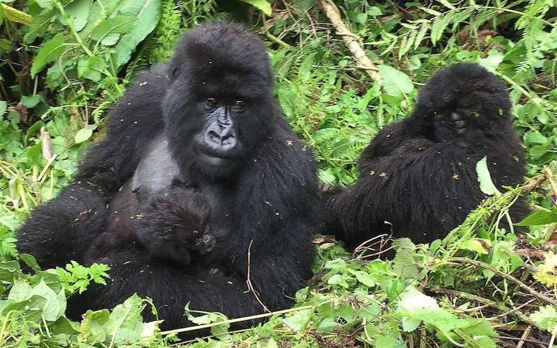 Backpacking Africa - Mountain Gorillas Rwanda