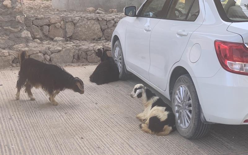 Goats on car park Oman